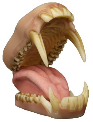 MED BABOON DETAILED JAWS