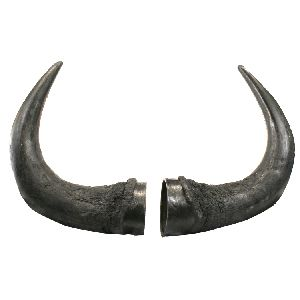 BISON HORNS (AMERICAN BISON) Research Mannikins Taxidermy