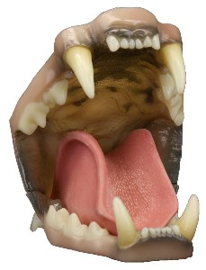 MED COUGAR DETAILED JAWS W/THROAT