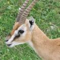 THOMSONS GAZELLE