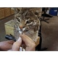 MOUNTING & FINISHING LIFESIZE BOBCAT