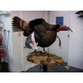MOUNTING & FINISHING A GOBBLING TURKEY